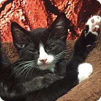 Domestic Shorthair Kitten for adoption in Austin, Texas - Enzo