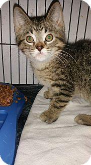 Domestic Shorthair Kitten for adoption in Rockford, Illinois - Bootsy
