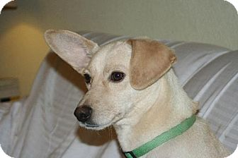 Terrier (Unknown Type, Medium)/Labrador Retriever Mix Dog for adoption in Alvarado, Texas - Angel
