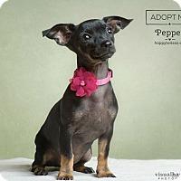 Adopt A Pet :: Pepper - Chandler, AZ