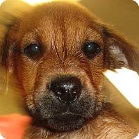 Adopt A Pet :: Sahara - Sakura Pup - Clear Lake, IA
