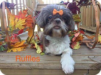 Shih Tzu Mix Dog for adoption in Shreveport, Louisiana - Ruffles