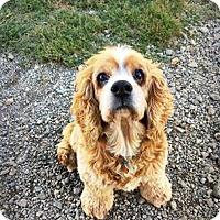 Cocker Spaniel Dog for adoption in Spartanburg, South Carolina - Lucille
