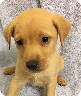 Labrador Retriever Mix Puppy for adoption in Lakewood, California - LSM11