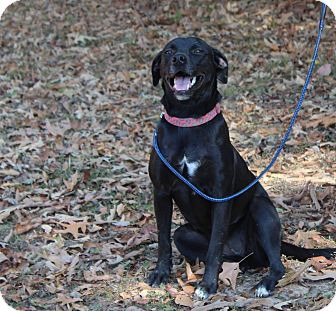 Labrador Retriever Mix Dog for adoption in Huntsville, Alabama - Daisy