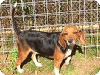 Beagle Mix Dog for adoption in Dumfries, Virginia - Lola