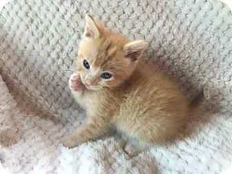 Domestic Shorthair Kitten for adoption in Mackinaw, Illinois - Asland