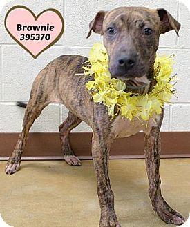 Plott Hound/Terrier (Unknown Type, Medium) Mix Dog for adoption in Orleans, Vermont - Brownie
