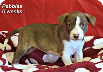 Labrador Retriever Mix Puppy for adoption in Yreka, California - Pebbles