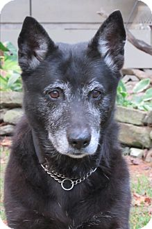 Blue Heeler/German Shepherd Dog Mix Dog for adoption in Hendersonville, North Carolina - **ELLA BELLISSIMO**