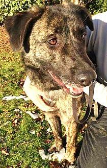 German Shepherd Dog/Plott Hound Mix Dog for adoption in Kirkland, Washington - Delaware: active, playful boy