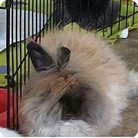 Adopt A Pet :: Llama - Edinburg, PA