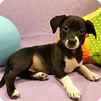 Adopt A Pet :: Black Peral - Modesto, CA