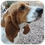 Photo 1 - Basset Hound Dog for adoption in Phoenix, Arizona - Calvin