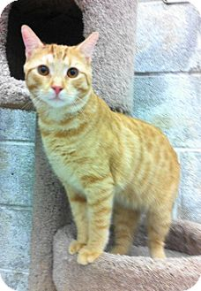 Domestic Shorthair Cat for adoption in Warminster, Pennsylvania - Sandman