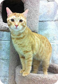 Domestic Shorthair Cat for adoption in Warminster, Pennsylvania - Sandman