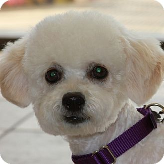 Bichon Frise Mix Dog for adoption in La Costa, California - Gypsy