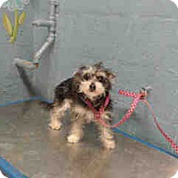 Adopt A Pet :: Wyler - Simi Valley, CA