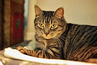 Domestic Shorthair Cat for adoption in Beacon, New York - Marley