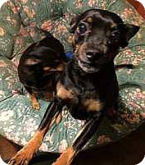 Miniature Pinscher Dog for adoption in Syracuse, New York - Willie