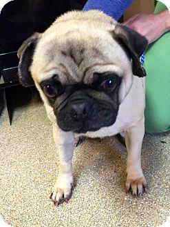 Pug Mix Dog for adoption in Tontitown, Arkansas - Bruce