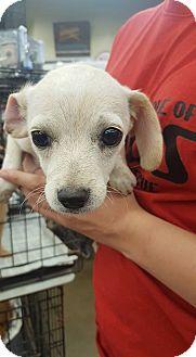 Dachshund Mix Puppy for adoption in Fresno, California - Little Bit