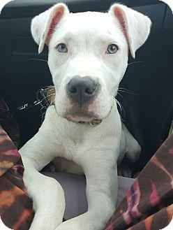 American Bulldog/Labrador Retriever Mix Puppy for adoption in O'Fallon, Missouri - Stevie *love bug*