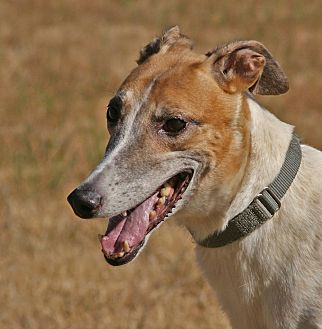 Greyhound Dog for adoption in Portland, Oregon - Annie