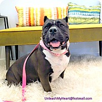 American Staffordshire Terrier/English Bulldog Mix Dog for adoption in Hermosa, California - Smooch
