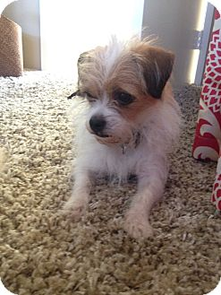 Norfolk Terrier/Brussels Griffon Mix Dog for adoption in Pasadena, California - Hazel