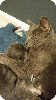 Domestic Shorthair Cat for adoption in Appleton, Wisconsin - Lucy *Petsmart GB*