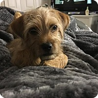 Adopt A Pet :: Nugget the Cairn terrier - Royal Palm Beach, FL