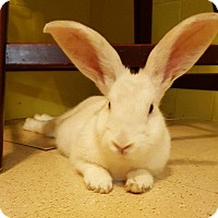 Californian Mix for adoption in Jerseyville, Illinois - Bugs
