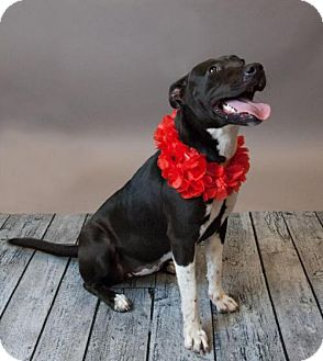 Bull Terrier Mix Dog for adoption in Rockwall, Texas - Zoey