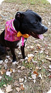 Terrier (Unknown Type, Medium)/Boxer Mix Dog for adoption in Bridgewater, New Jersey - PRINCESS