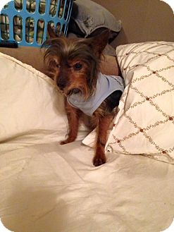 Yorkie, Yorkshire Terrier Mix Dog for adoption in Bucks County, Pennsylvania - Timmy
