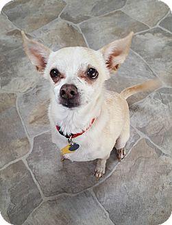 Chihuahua Dog for adoption in Fennville, Michigan - Mina