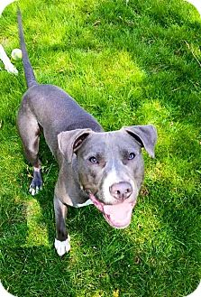 American Pit Bull Terrier/Pit Bull Terrier Mix Dog for adoption in Wauwatosa, Wisconsin - Flip