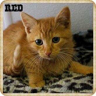 Domestic Shorthair Kitten for adoption in Island Heights, New Jersey - Red