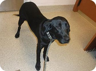 Labrador Retriever Mix Dog for adoption in Gloucester, Virginia - MAGGIE