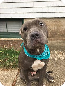 Pit Bull Terrier Mix Dog for adoption in Streamwood, Illinois - Emmi