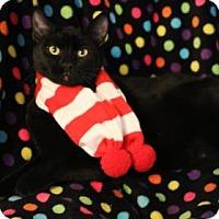 Domestic Shorthair Cat for adoption in Yucaipa, California - Buckwheat