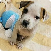 Adopt A Pet :: Spots - Modesto, CA