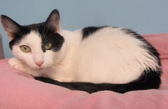 Domestic Shorthair Cat for adoption in Oakland Park, Florida - Wildflower