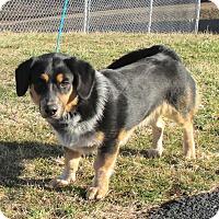 Adopt A Pet :: Coyote - Reeds Spring, MO