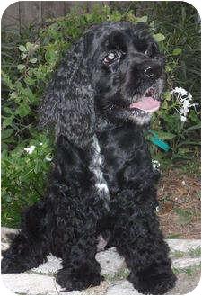 Cocker Spaniel Dog for adoption in Sugarland, Texas - Helen