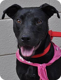 Labrador Retriever Mix Dog for adoption in Atlanta, Georgia - Leia