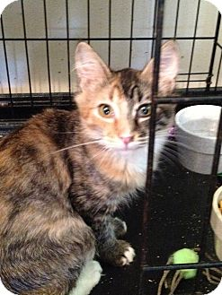 Calico Cat for adoption in Wenatchee, Washington - Nicole