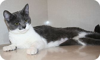 Domestic Shorthair Cat for adoption in Edmonton, Alberta - Aspen