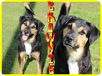 German Shepherd Dog Mix Dog for adoption in Tampa, Florida - Brownie